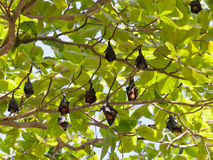 Many flying foxes Royalty Free Stock Image