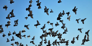 Many flying pigeons Royalty Free Stock Image