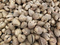 Many fresh cockles or blood clam background. In fresh market Stock Image