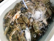 Fresh crabs in the basin. Many fresh crabs in the basin Royalty Free Stock Photography