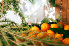 Many fresh mandarins and branches of  Christmas tree on a wooden background Royalty Free Stock Images