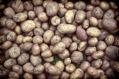 Many fresh organic potatoes in the field. Stock Photos
