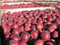 Many fresh picked red delicious apples in bins during fall harvest royalty free stock image