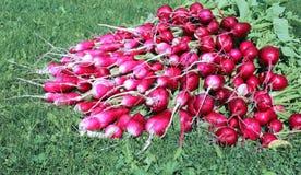 Many fresh radish with leaves Stock Images