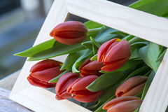 Many fresh red tulips in the frame stock photography