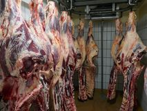 Many fresh slaughtered cattle halves are hanging in the cold store of a slaughterhouse in Germany, Schleswig-Holstein. Fresh slaughtered cattle halves are stock images