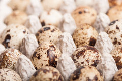 Many fresh speckled quail eggs in cardboard container Stock Images