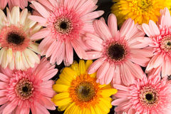 Many of fresh tropical flower floating Royalty Free Stock Image