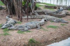 Many fresh water crocodiles on land. Stock Image