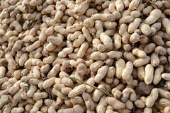 Many freshly-dug peanuts Royalty Free Stock Photos