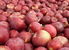 Many freshly picked red apples Stock Image