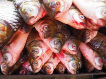 Fish head. Many freshwater fish gather together Royalty Free Stock Photos