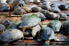Many freshwater turtle on wooden raft at the river. stock images