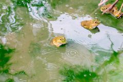 Many frog on the water in the cement block , Bull frog on a log stock image