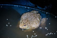 Many frogs are found in a pond in a frog farm Stock Images