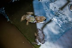 Many frogs are found in a pond in a frog farm Stock Image