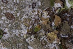Many frozen fallen leaves on road with white snow stock image