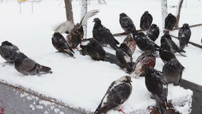 Many frozen pigeons sitting on a snowy trash box. Many pigeons sitting on a snowy trash box on them fall white fluffy snow.Dove grey in winter. Pigeons in flakes stock video