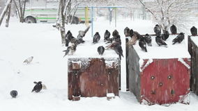 Many frozen pigeons sitting on a snowy trash box. Many pigeons sitting on a snowy trash box on them fall white fluffy snow.Dove grey in winter. Pigeons in flakes stock video footage