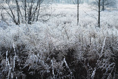 Many frozen woundworts. Many european goldenrods Solidago virgaurea covered with hoar and snow in winter Royalty Free Stock Photo