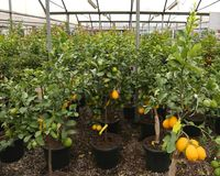 many fruit trees with lemon and orange for sale in the shop stock images