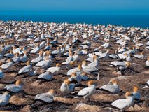 many gannets in breeding colony new zealand