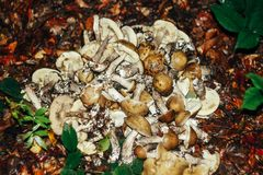 Many gathered different mushrooms, leisure in summer mountains, Royalty Free Stock Images