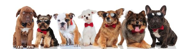 Many gentlemen dogs with bowties on white background. Many gentlemen dogs with bowties standing, sitting and lying on white background Stock Photo