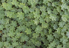 Many geranium leaves. As a background royalty free stock photos