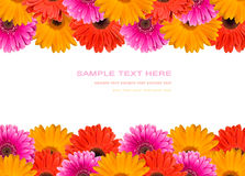 Many gerberas and blank place for text Stock Photos
