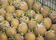 Many germinated potato in a box Stock Photography