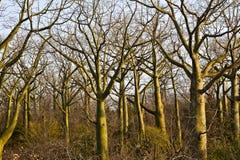 Many Giant ceiba trees Stock Images