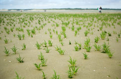 Many glasswort plants Royalty Free Stock Images