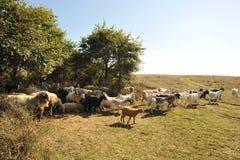 Many goats Stock Images