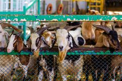 Many goats in a cage. Goats are waiting for food from tourists bring. Feeding on animal farm stock photos