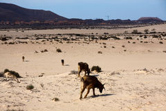 Many goats in the desert Royalty Free Stock Photos