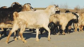 Many goats in dusty fields. In autumn time, sunny day country landscape stock video footage