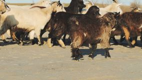 Many goats in dusty fields. In autumn time, sunny day country landscape stock footage