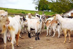 Many goats on the farm Royalty Free Stock Images