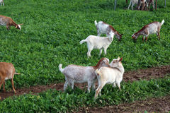 Many goats Royalty Free Stock Images
