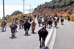 Public Goat Herding, Greece. Many goats walking along a public road in Greece; public goat and livestock herding royalty free stock photography