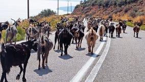 Public Goat Herding, Greece. Many goats walking along a public road in Greece; public goat and livestock herding royalty free stock photos