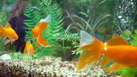 Many gold fish in the aquarium. Gold fish. many gold fish in the aquarium. swim among seaweed on a dark background underwater stock footage
