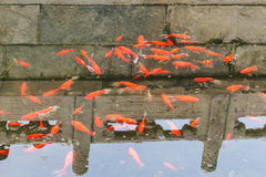 many gold fishes in pond in Beijing Stock Images