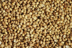 Many golden color coriander seeds isolated in one place Stock Images
