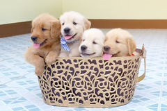 Many golden retriever puppy Royalty Free Stock Images