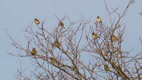 Many Goldfinch stock footage