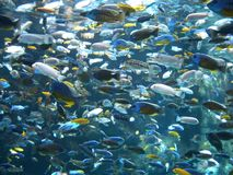 many goldfish in a huge fish tank royalty free stock photo