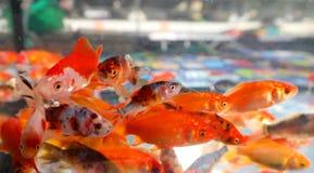 Many goldfish swim in an aquarium. In a pet shop stock photos