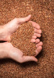 Many grains of brown rice in a farmer's hands. Food background. Many grains of brown rice in a farmer's hands stock image